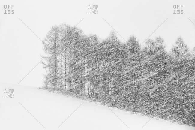 Copse of trees in Japanese blizzard