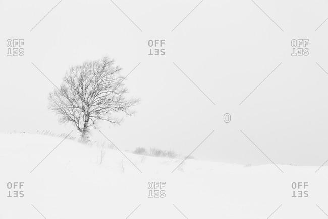 Tree in winter storm in Japan