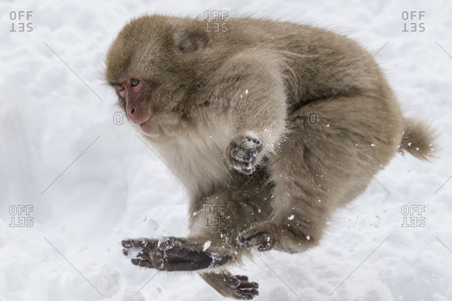 Japanese snow monkey bounding in snow