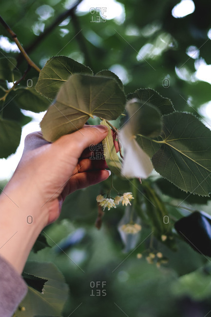 Person picking lime flowers from a tree