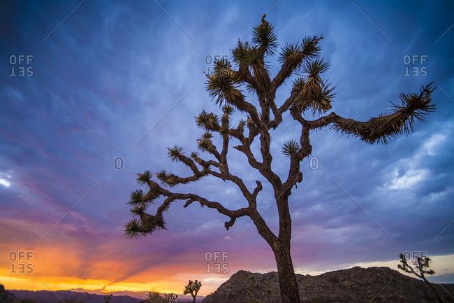 Joshua Trees at sunset in California desert