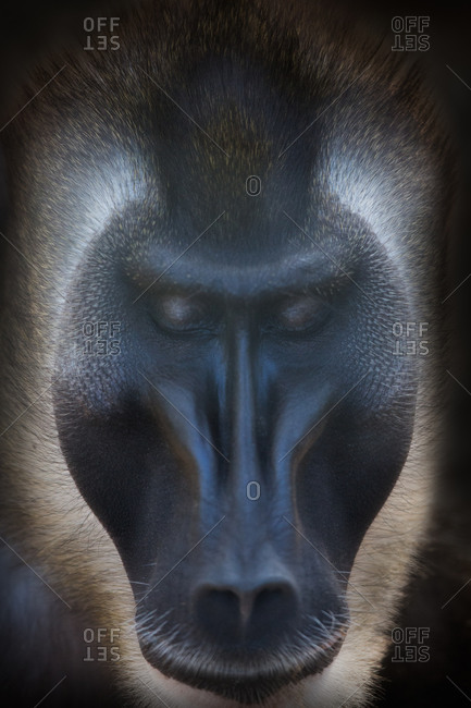 Close up of African baboon's face