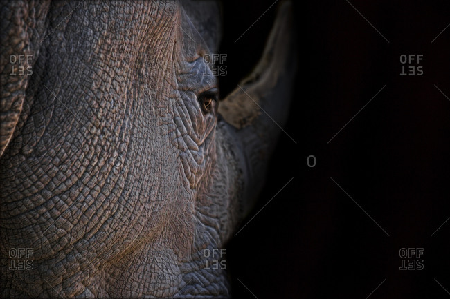Close up of rhino face