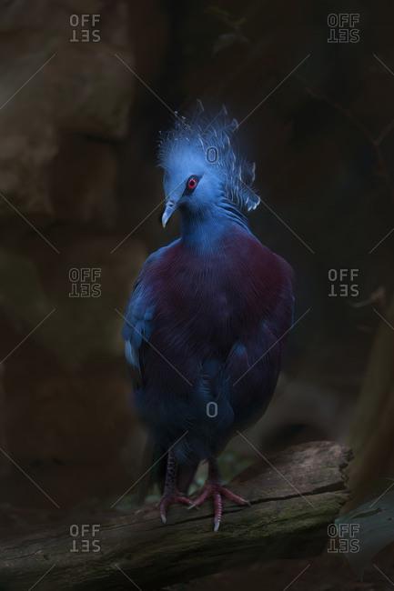 Victoria crowned pigeon standing on log