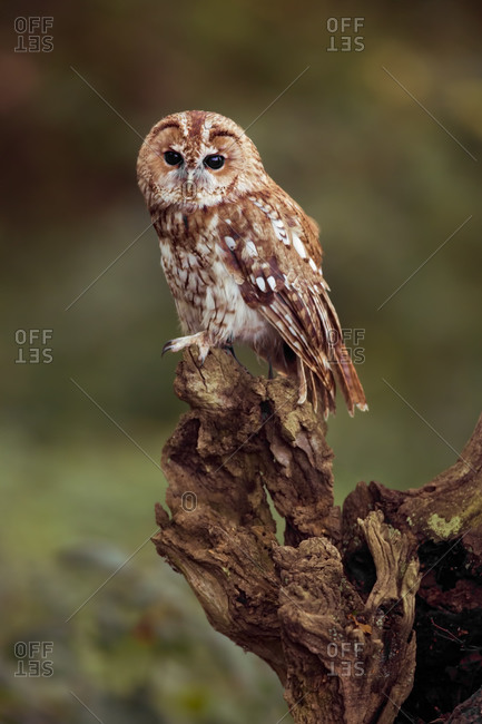 Tawny owl perched on log