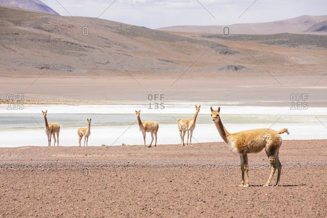 Llamas in Andes, Bolivia, South America