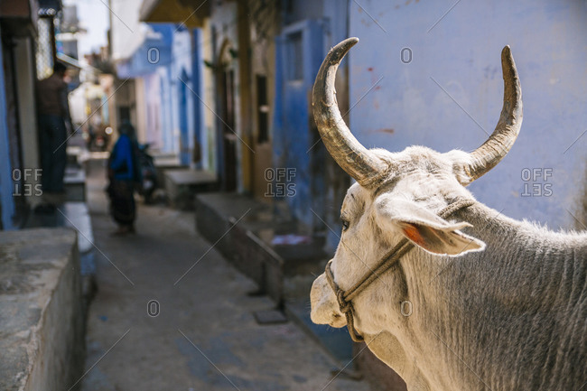 Cow standing in alley in Rajasthan, India