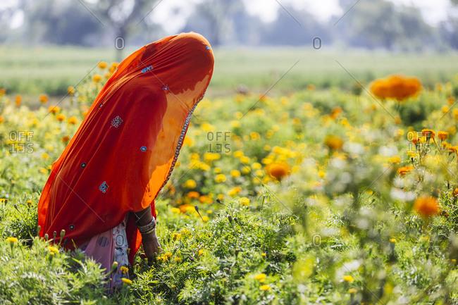 Pushkar, India - February 2, 2015: Woman in sari working in rural flower garden