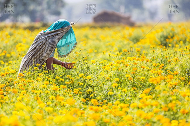 Pushkar, India - February 2, 2015: Indian woman in veil picking flowers in field