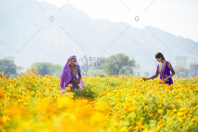 Pushkar, India - February 2, 2015: Two women in saris working in rural flower garden