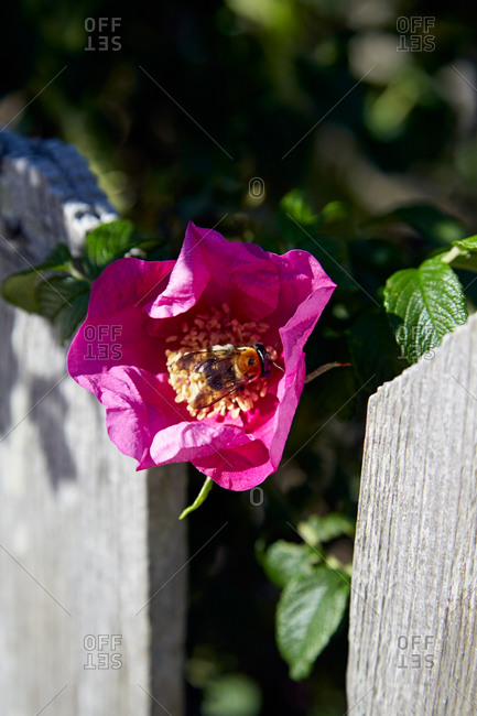 Purple rose being pollinated by bee