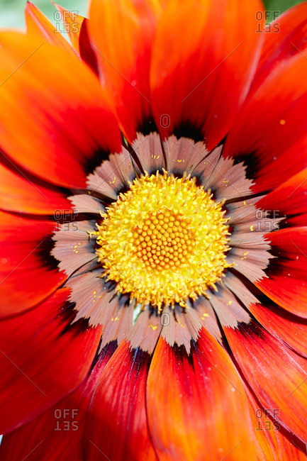 Close up of vibrant red sunflower