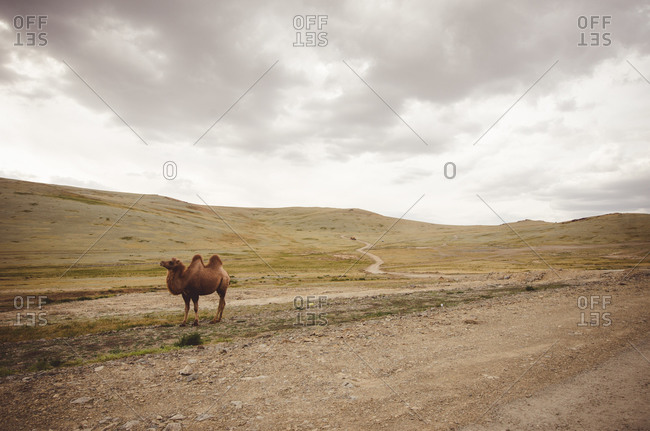Bactrian camel in rural Mongolia