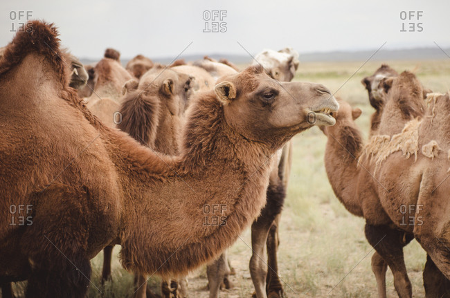 Camels in a field in rural Mongolia