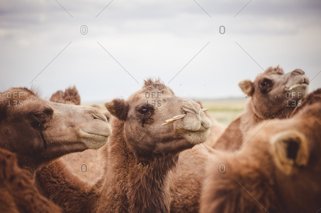 Bactrian camels in rural Mongolia