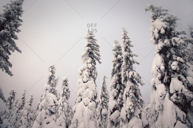 Towering pine trees in snow covered forest