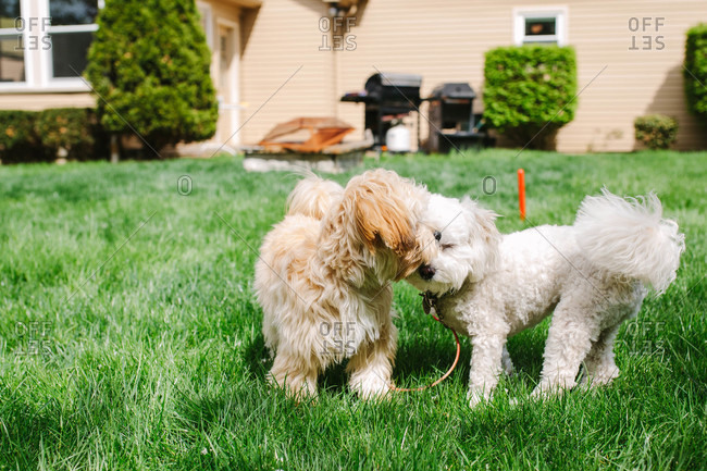 Dogs playing in the grass
