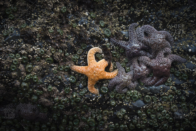 Orange sea star next to group of purple sea stars on tidepool rock