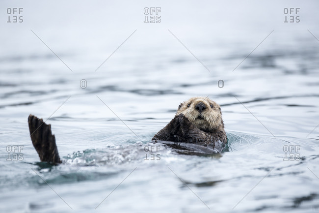 Close-up of a sea otter swimming in is back close to Homer, Alaska