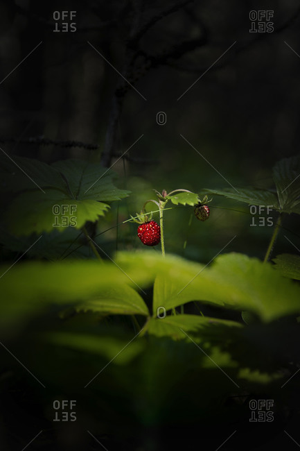 The fruit of forest strawberry ( Fragaria vesca )in the deep grass