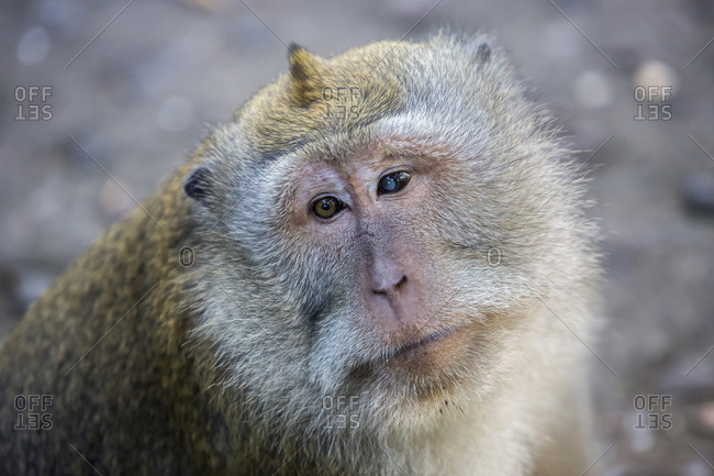 A macaque monkey with two different eyes at the Sacred Monkey Forest in Ubud, Bali, Indonesia