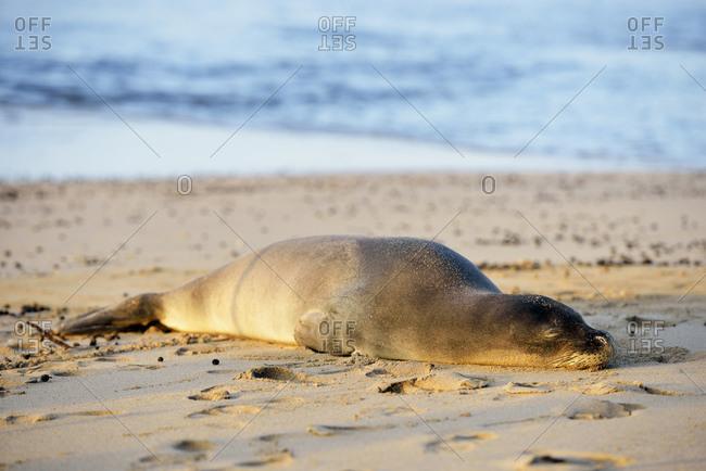 Hawaiian monk seal on Kee Beach, Hanalei, Hawaii