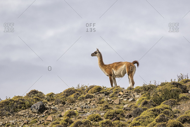 Camel in Torres del Paine National Park, Vicuna, Chile