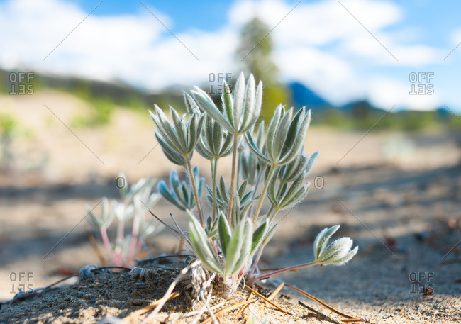 Close up of a silvery leafed plant growing out of the sand