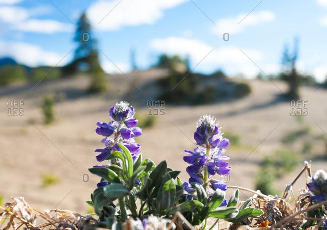 Purple wildflowers growing out sandy soil