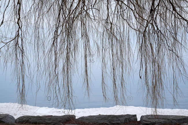 Weeping willow branches hang down before a lake