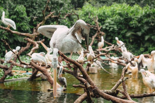Pelicans at the shore
