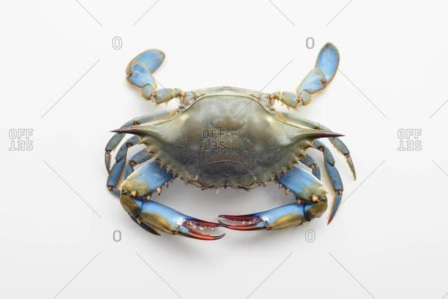 Raw blue crab