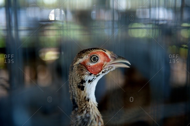 Side view of a fowl