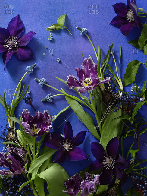 Clematis, tulips, muscari on blue background