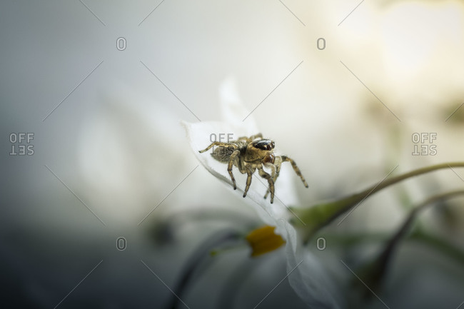 A tiny jumping spider on a small white potato vine flower