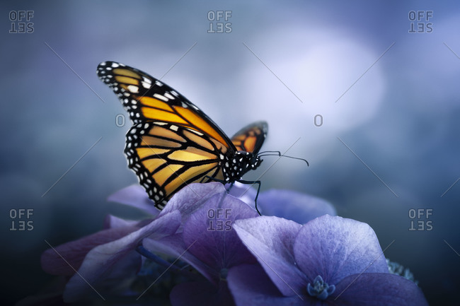 A newly hatched monarch butterfly still drying its wings before flight