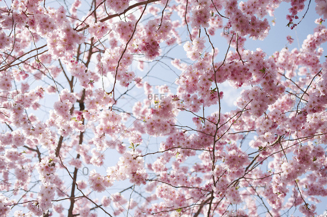 Close-up of pink cherry blossom branches