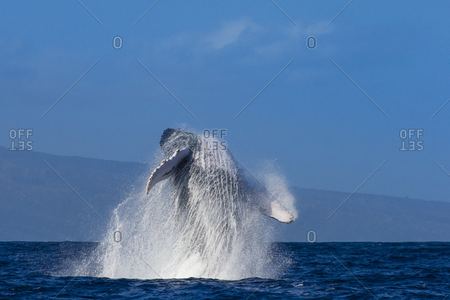 Breaching Humpback Whale at the Hawaiian Islands Humpback Whale National Marine Sanctuary, Maui, Hawaii