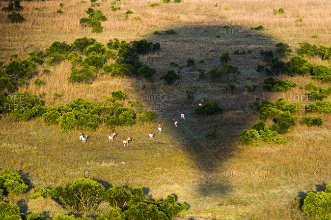 Hot air balloon casting a long shadow over grazing Impalas in Maasai Mara National Reserve, Masai Mara, Narok County, Kenya