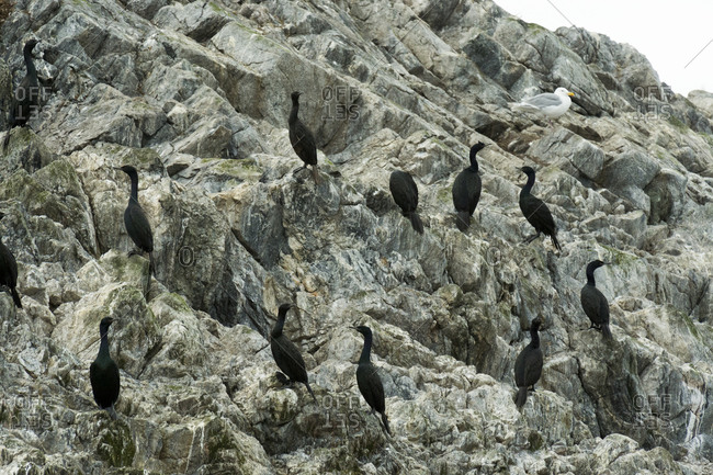 Pelagic cormorants on a rocky bluff near Glacier Bay National Park, Alaska
