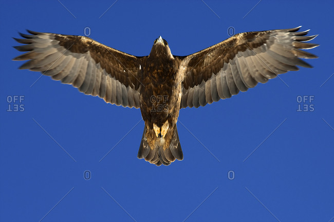 Low angle view of a golden eagle flying in the sky