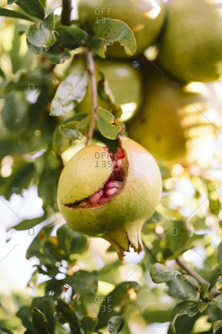 A pomegranate splitting open on a branch