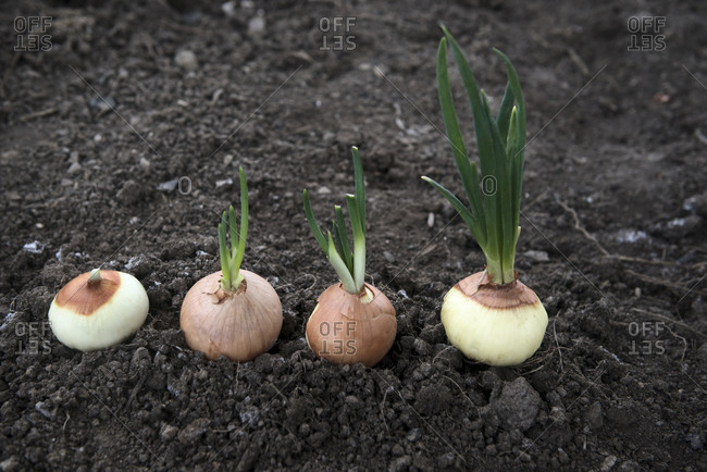 Stages of onion growth stock photo - OFFSET