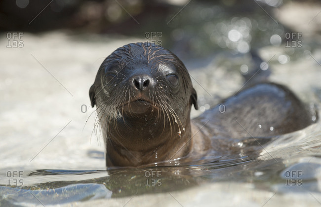 Galapagos sea lion pup swimming in the water in Santa Fe Island,  Galapagos Islands,  Ecuador