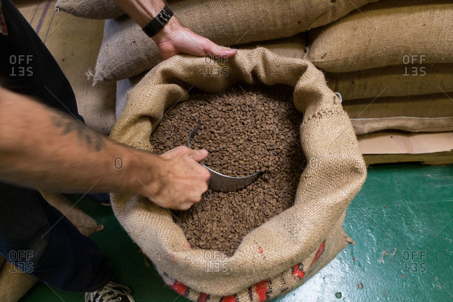 Man scooping coffee beans in a burlap sack