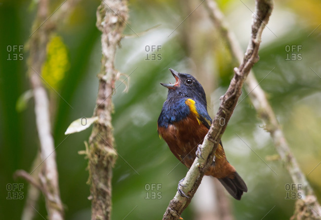 Chestnut-bellied euphonia singing out loud on a tree branch in Ubatuba,  Sao Paulo,  Brazil