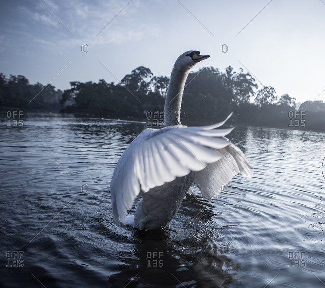 Male mute swan spreading his wings on a pond in Ibirapuera park,  Sao Paulo,  Brazil