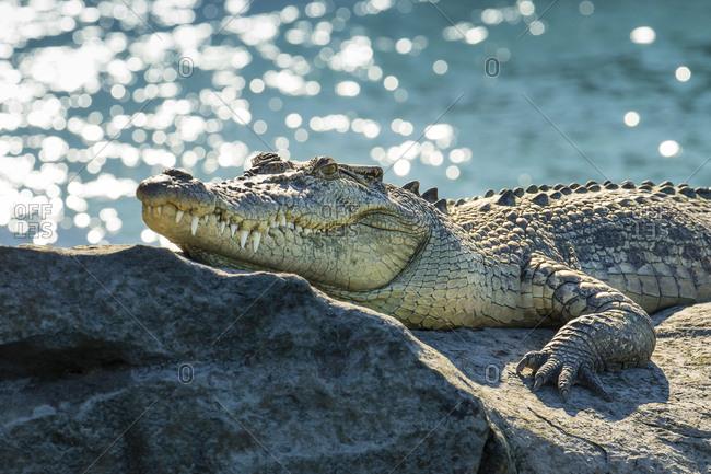 Salt Water Crocodile on a rock near Hunter River in the Kimberley Region of Northwest Australia