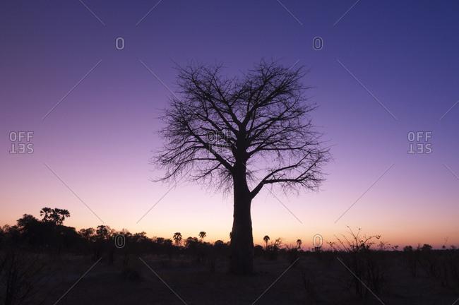 A baobab tree at twilight in Botswana,  Africa