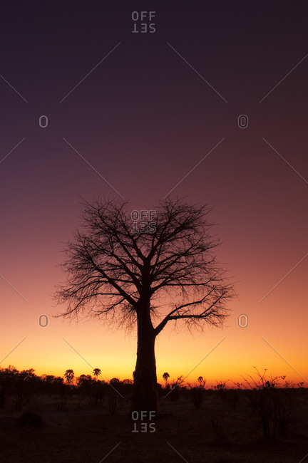 Silhouette of a baobab tree at sunset in Botswana,  Africa